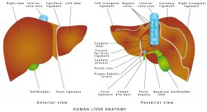 Liver anatomy. Realistic anatomical model of healthy human liver with gallbladder on a white background. Human organ liver front and rear, the location of the gallbladder and bile duct