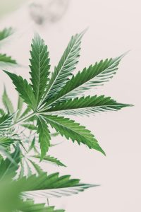 marijuana leaves on light, hemp marijuana CBD, indoor grow cannabis indica, white background cultivation cannabis, marijuana legalization, Cannabis vegetation plants,
