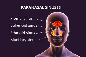 Anatomy of paranasal sinuses. 3D illustration showing female with highlighted paranasal sinuses, frontal, maxillary, ethmoid, and sphenoid. Labelled image