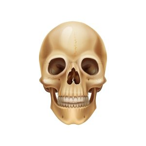 Human skull. Realistic anatomical model, dead mans head bones. Medical 3D illustration. Isolated part of skeleton with tooth. Scary Halloween or pirate symbol. Vector front view of detailed cranium