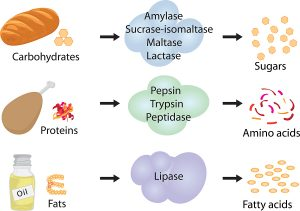 How enzymes work. Fermentation and disgestion food